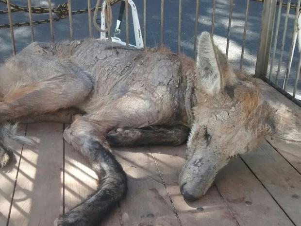 Lobo guará maltratado (Foto: Polícia Militar de Meio Ambiente/Divulgação)