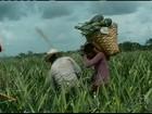 Cultivo do abacaxi e subprodutos melhoram a renda no PA