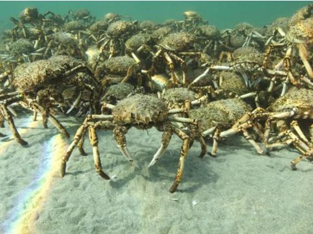Acredita-se que os caranguejos se reunam em busca de proteção, mas uma teoria alternativa aponta como objetivo o acasalamento  (Foto: Sheree Marris)