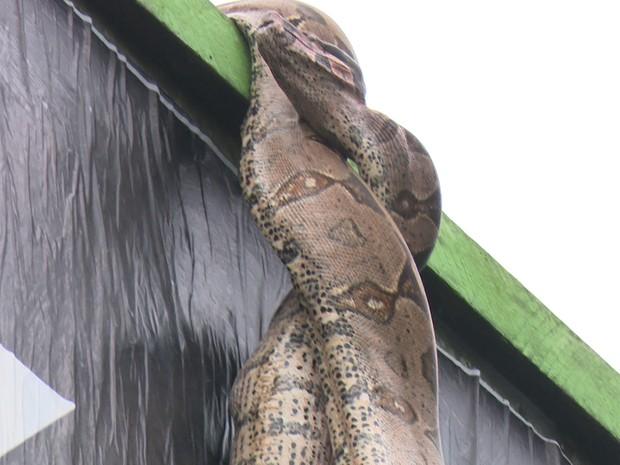 A jibóia havia acabado de comer um pombo quando foi vista em cima do outdoor, em Ji-Paraná. (Foto: Pâmela Fernandes/G1)