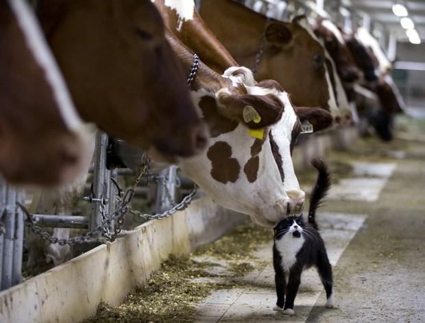 Vacas leiteiras interagem com gatinho em fazenda de Granby, em Quebec, Canadá  (Foto: Reuters/Christinne Muschi)