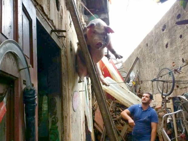 Porca foi retirada da laje com a ajuda de cordas (Foto: Eder Ribeiro/EPTV)