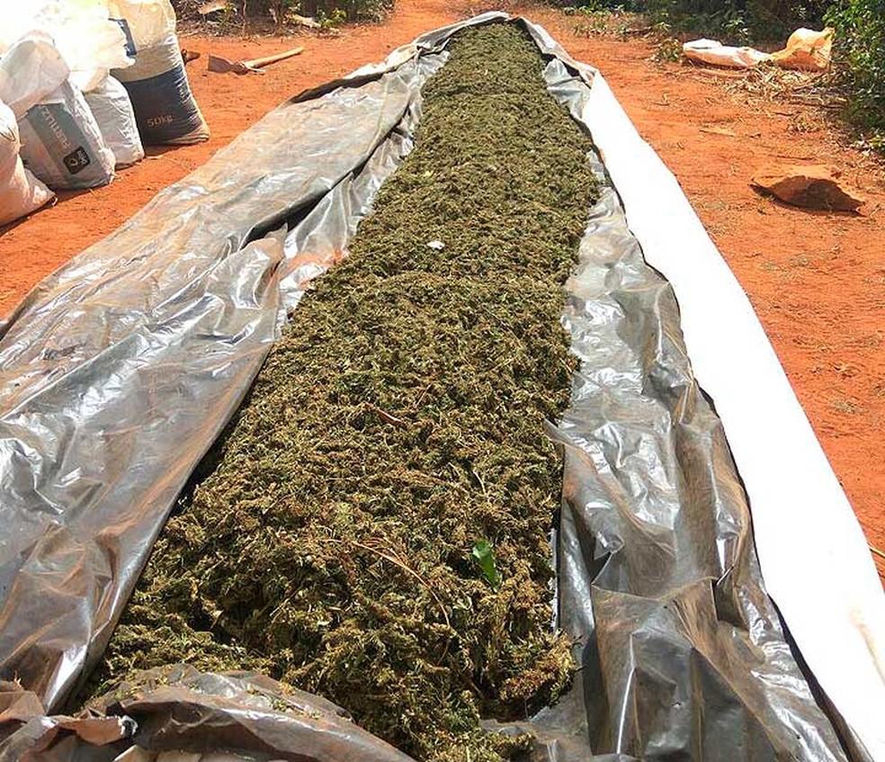 Mais de uma tonelada de maconha em processo de secagem foi erradicada em Canarana, no norte da Bahia (Foto: Divulgação/ Cipe Semiárido)