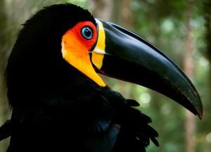 Tucano-de-bico-preto, um dos animais mais peculiares da Mata Atlântica (Foto: Wikimedia Commons)