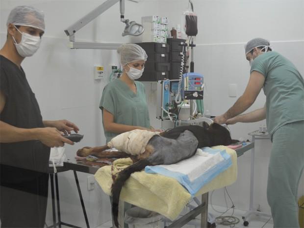 Cadela passou por cirurgia e teve uma das patas amputada após ser baleada (Foto: Marina Sola/G1)