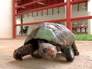 Jabuti Cascão Claudio Yudi Uberaba roda de carrinho veterinário (Foto: Reprodução/ TV Integração)