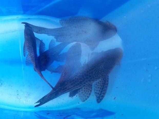 Peixes são colocados em tanques no Espírito Santo (Foto: Luis Carlos Dubberstein/ Sanear)