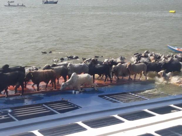 Bois tentam escapar do naufrágio. (Foto: Renato Pereira/ Arquivo pessoal)