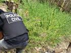 32kg de maconha são apreendidos de plantio em Urucurituba no AM