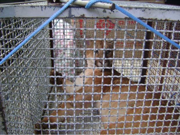 Suçuarana precisou ser transferida em jaula para São José do Rio Preto (SP). (Foto: Polícia Ambiental/Divulgação)