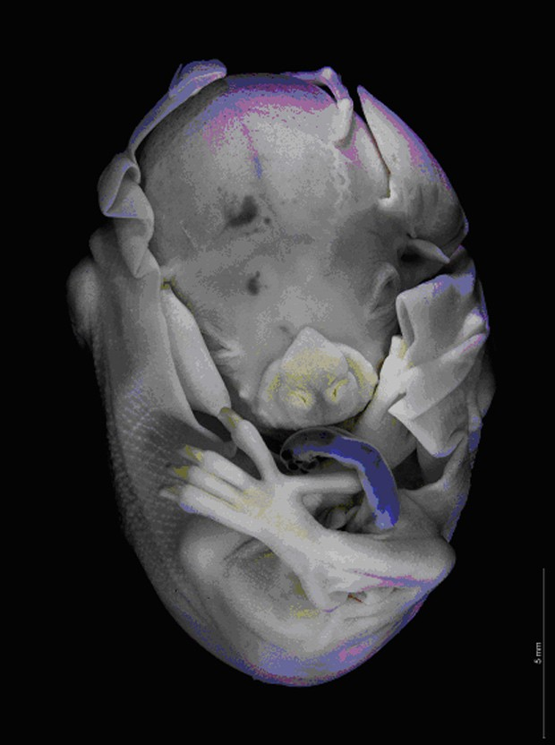 Imagem de embrião de morcego foi feita com estereoscópio  (Foto: Adriana Ventura/UFRRJ/Divulgação)