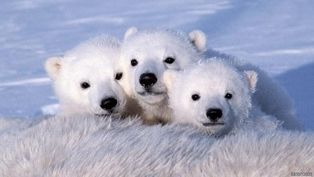 A sobrevivência dos ursos está ameaçada. A cada verão, o mar de gelo onde eles caçam fica menor devido ao aquecimento global. Acima, três filhotes (Foto: Jenny Rose/BBC)