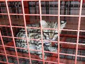 Jaguatirica é um felino encontrado principalmente na Mata Atlântica (Foto: Divulgação/Corpo de Bombeiros)