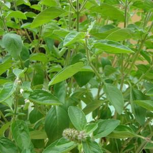 Manjericão: amplamente utilizada nas culinárias italiana e tailândesa, a erva ajuda a diminuir a ansiedade e curar infecções bacterianas na pele. Estudos sugerem que o manjericão tem papel antioxidante, antiinflamatório e analgésico (Foto: Divulgação)