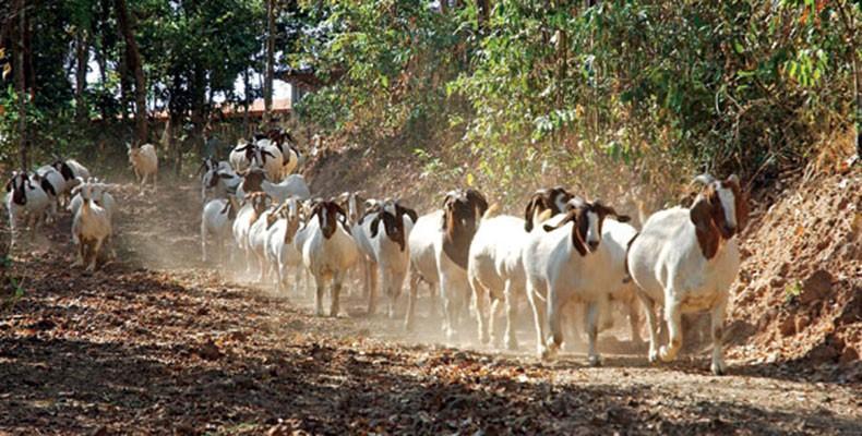 cabras_como_criar_ (Foto:  )