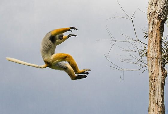 Um lêmure sifaka dá um salto entre duas árvores na Reserva Analamazaotra: um espetáculo único na natureza!  (Foto: © Haroldo Castro/ÉPOCA)