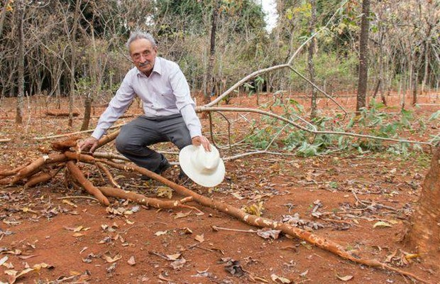 O pesquisador Nagib Nassar com um pé de mandioca que produz raízes gigantes (Foto: Divulgação)