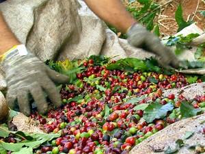 Apanhador trabalha na colheita do café na região de Campinas (Foto: Reprodução EPTV)