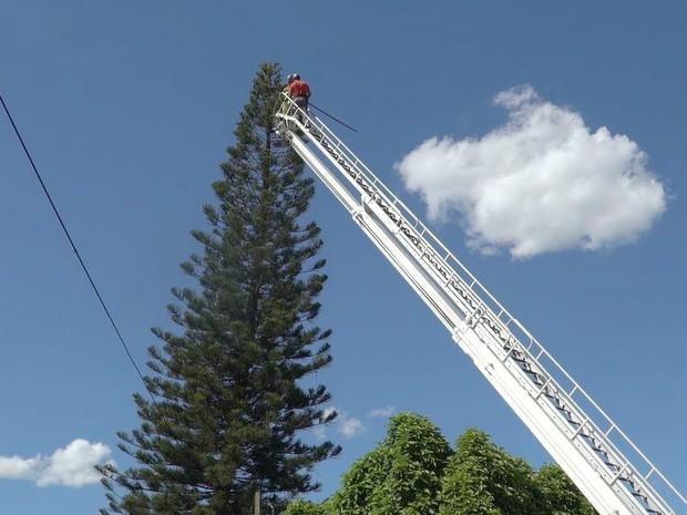 Gato ficou preso em pinheiro de 20 metros de altura (Foto: Alexandre Sá/EPTV)