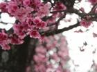 Festa da Cerejeira de Piedade tem dança típica neste fim de semana