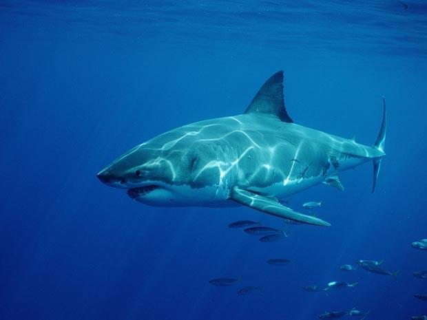 Tubarão branco na costa da Austrália (Foto: Reinhard Dirscherl / Bilderberg / AFP / Arquivo)