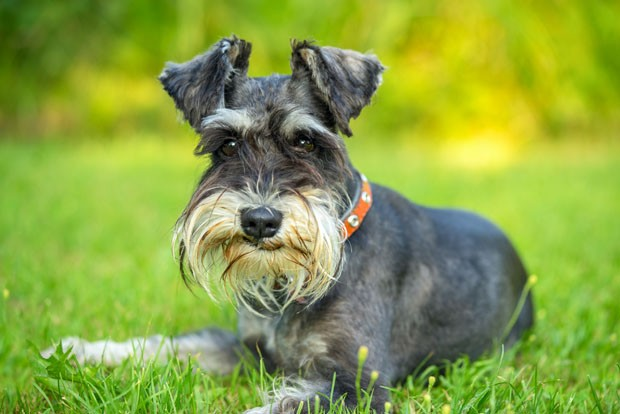 Miniature schnauzer lying on the grass (Foto: Getty Images/iStockphoto)