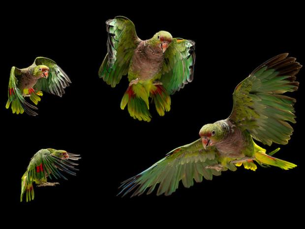 Papagaio-de-peito-roxo está ameaçado de extinção pelo contrabando e pela destruição das matas (Foto: Tony Generico)