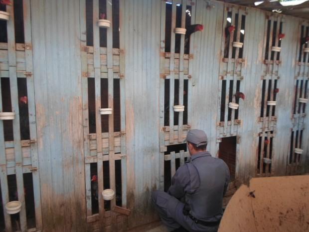 Trinta e sete galos foram apreendidos na casa na zona sul  (Foto: Divulgação/ Polícia Ambiental)