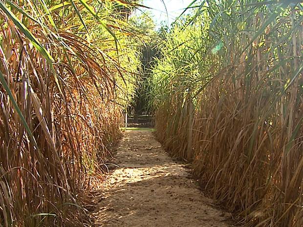 Supercana pode produzir 20 mil litros de etanol por hectare (Foto: Maurício Glauco/EPTV)