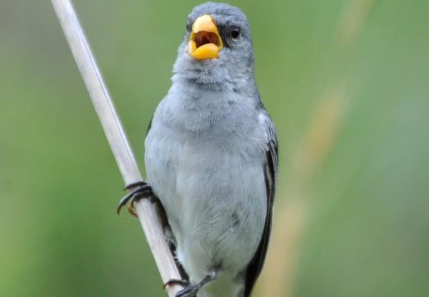 A patativa-tropeira, ave recém-descoberta que está ameaçada de extinção (Foto: Márcio Repenning / Divulgação)