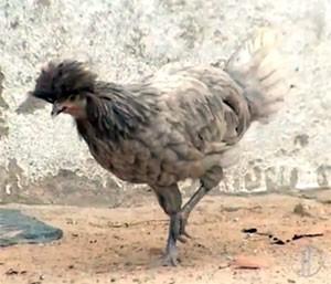 Galinha Polonesa, com penteado estiloso, é a que mais desperta a atenção dos curiosos (Foto: Reprodução/Inter TV Cabugi)