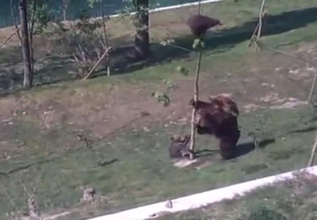 Ursa foi filmada tentando 'obrigar' filhote a descer de árvore (Foto: Reprodução/Imgur/Nightwolf)