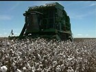 Agricultores da Bahia comemoram resultado da safra de algodão