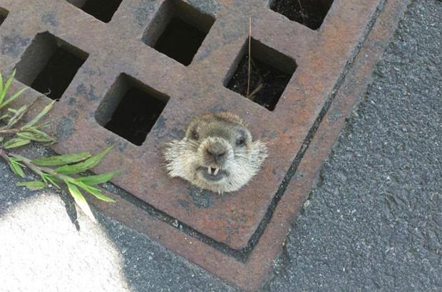 Marmota precisou ser resgatada pela polícia em Danvers (Foto: Reprodução/Facebook/Danvers Police Department)