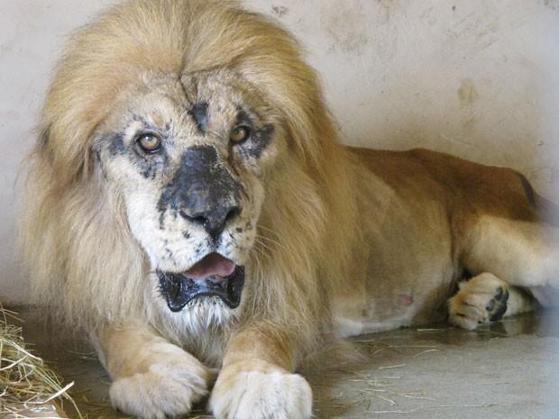 O leão africano tem manchas no rosto, devido à exposição excessiva da pelo ao sol. Segundo a ONG Mata Ciliar, o felino foi vítima de maus tratos (Foto: Eduardo Carvalho/G1)