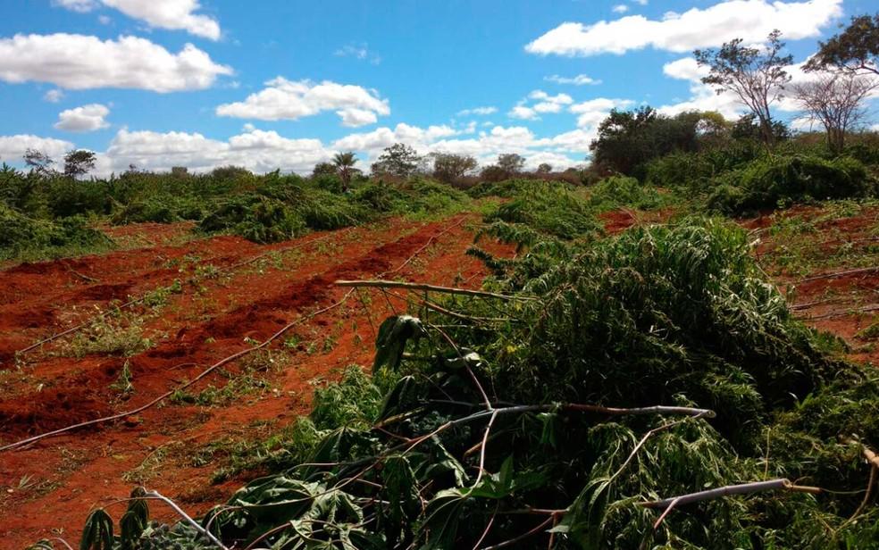 Além da droga em processo de secagem, polícia achou 400 mil pés de maconha no norte da Bahia (Foto: Divulgação/ Cipe Semiárido)