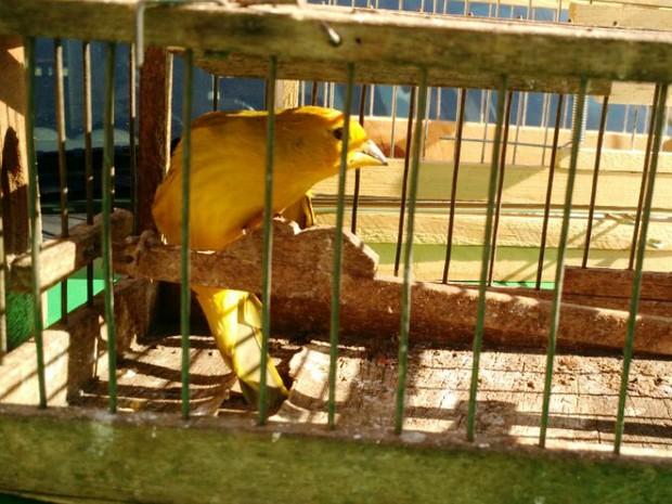 Canários da terra foram localizados pela PMMA em residência em Uberlândia (Foto: Polícia Militar de Meio Ambiente/Divulgação)