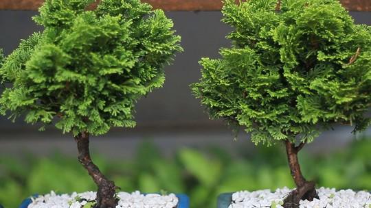 Cidade do interior do Paraná abriga o maior viveiro de bonsai da América do Sul
