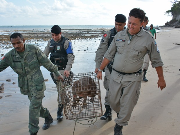 Uma capivara foi resgatada na manhã deste domingo (29) pela Polícia Militar em João Pessoa. O animal estava na Praia do Cabo Branco, próximo à barreira. (Foto: Walter Paparazzo/G1)