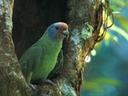 Censo contabiliza mais de cinco mil papagaios-de-cara-roxa no Paraná