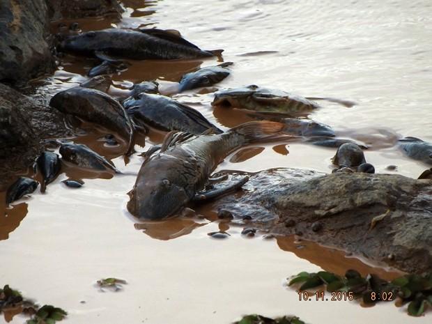 Analistas estimam que a passagem da lama e produtos químicos tenha reduzido o oxigênio do rio Doce a níveis próximos a zero, levando milhares de peixes à morte por asfixia (Foto: Reprodução/BBC)