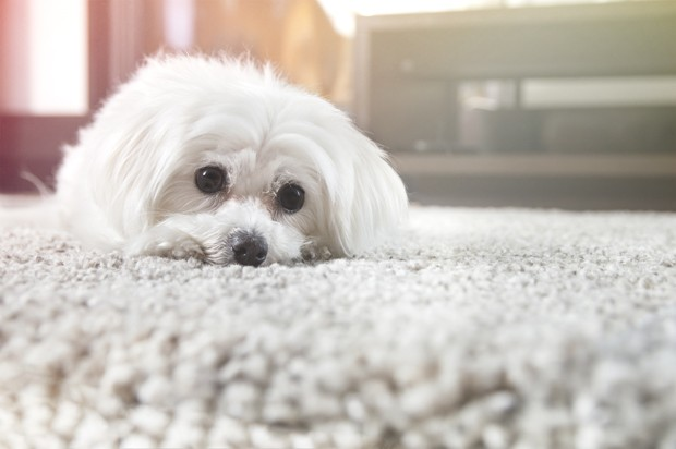 White maltese dog lies on carpet and looking ahead (Foto: Getty Images/iStockphoto)