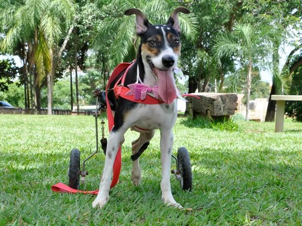 Animal que usa cadeira de rodas adaptada foi resgatado por associação (Foto: Moisés Bandeira/ ONG)