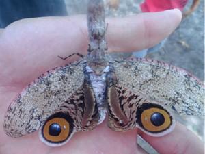 O hemíptero, como é chamado, suas asas chegam a caber na palma de uma mão  (Foto: Altier Souza/Site Destaque Bahia)