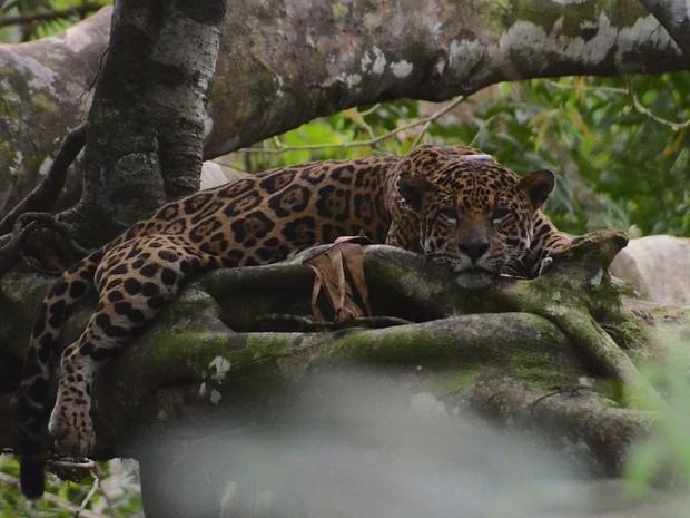 Pesquisador brasileiro detectou comportamento inusitado de onças durante a cheia na Amazônia: felinos vivem entre as árvores quando rios sobem demais (Foto: Divulgação/Instituto Mamirauá)