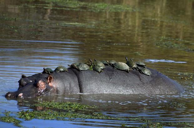 Mais de dez tartarugas foram flagradas descansando nas costas de hipopótamo (Foto: Rudi du Plessis/Caters News/The Grosby Group )