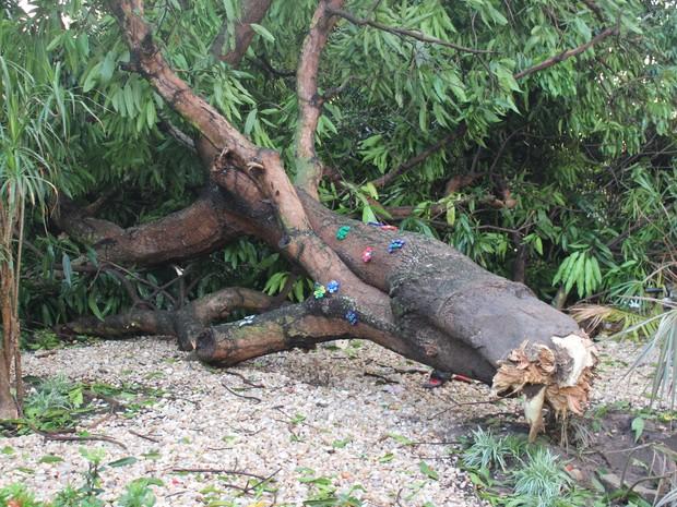 Árvores caíram após chuva de granizo (Foto: Catarina Costa/G1 PI)