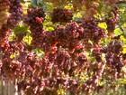 Clima ajudou e a qualidade da uva do Paraná é considerada muito boa