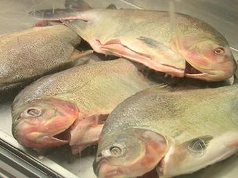 Venda de peixe em Cuiabá deve aumentar entre 30% e 50% durante a Quaresma. (Foto: Reprodução/TVCA)