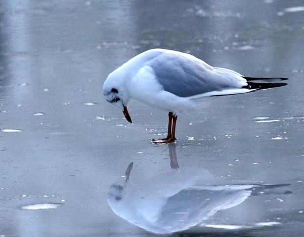 Ave 'admira' o próprio reflexo em lago congelado na Alemanha (Foto: Frank Augstein/AP)